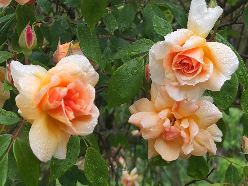 Crepuscule Rose