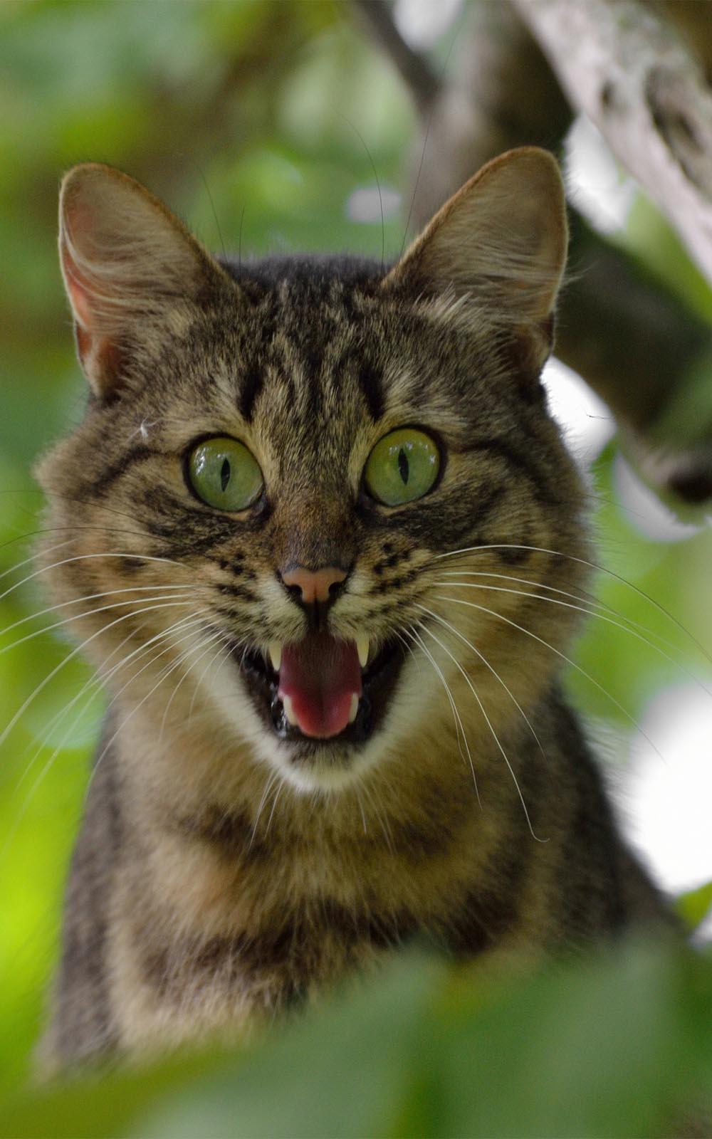 Download Cat Screaming Free Pure 4K Ultra HD Mobile Wallpaper