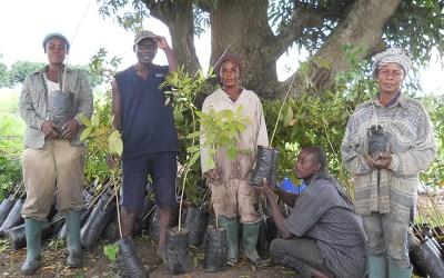 Ashalaga Farmer Plants 400 Mahogany Trees