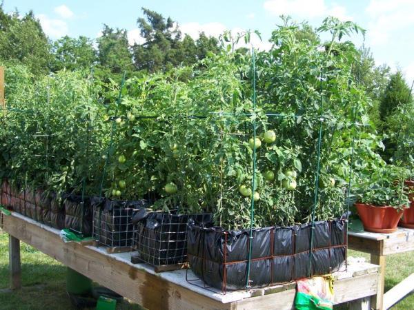 basket-grown-tomatoes
