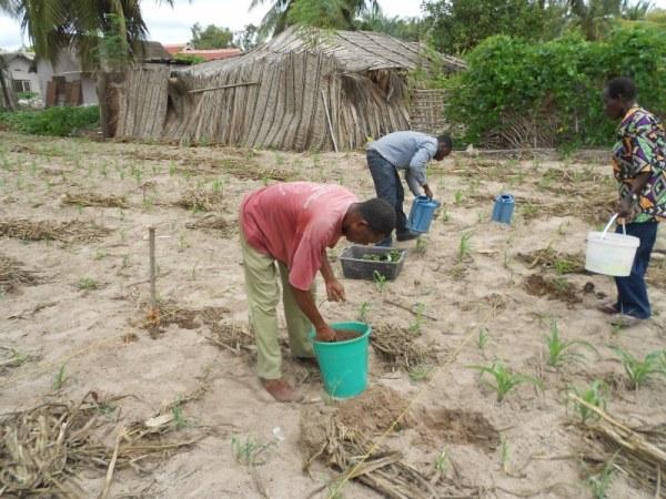 Mr. Agbeli adding compost to transplanted calliandra in Mr. Worwui Farm