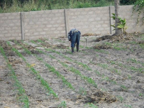 Mr. Worwui working in his prepared field for planting tree seedling