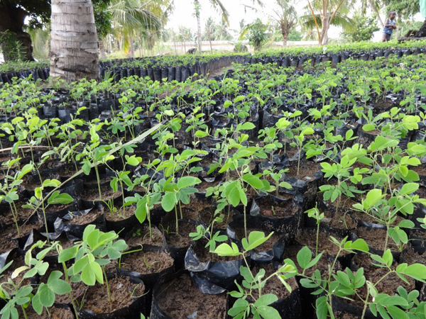 Samanea saman (rain tree) seedlings
