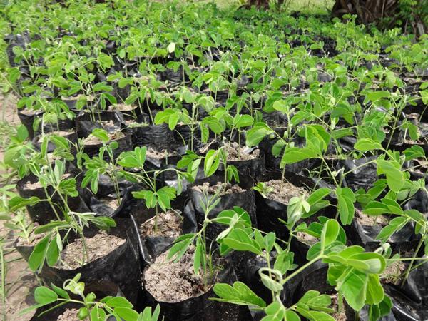 Samanea saman seedling