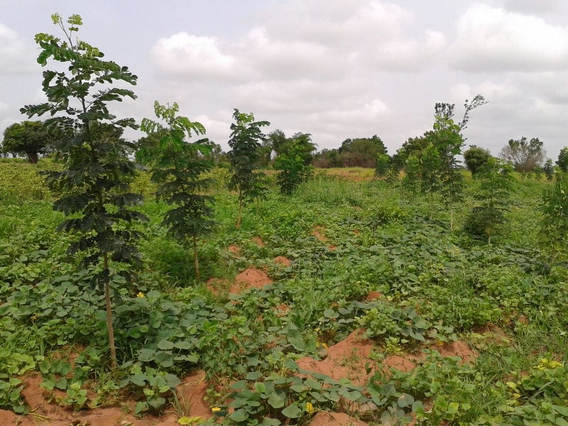 DAVID'S TREES IN ROW WITH SWEET POTATOES GROWING UNDER  TREES