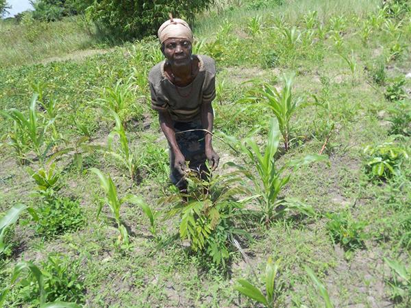 KLUPUI WEBU  WITH CASSIA SPP. TREE