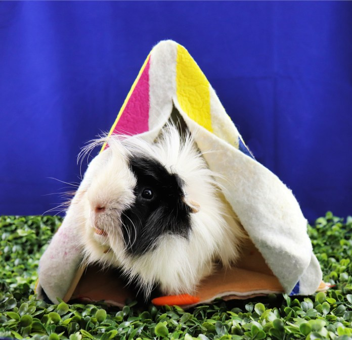 make a tent for guinea pigs