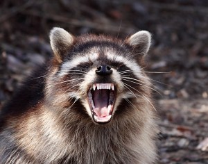 Yawning_Raccoon