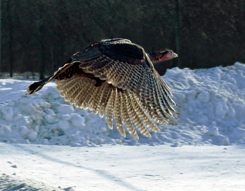 Wild_Turkey_Flying