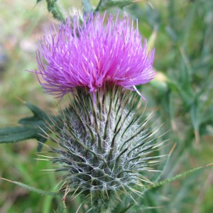Close up picture of a Scottish thistle in a field in Scotland