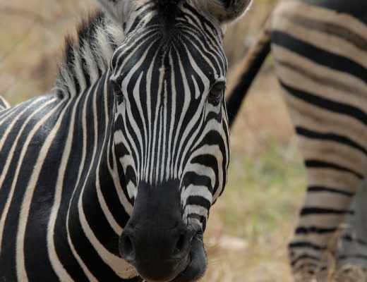 Adventurers on safari might encounter a watchful zebra like this one.