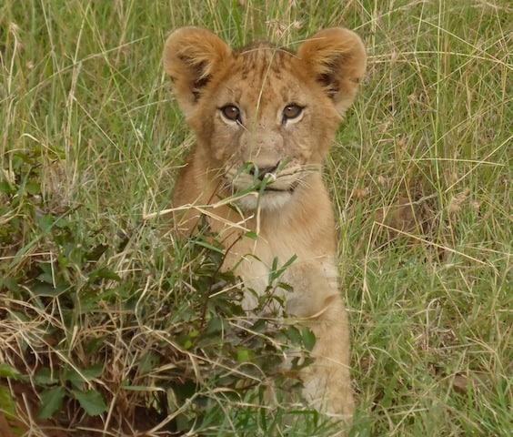 Lion cub in the Maasai Mara National Preserve in Kenya