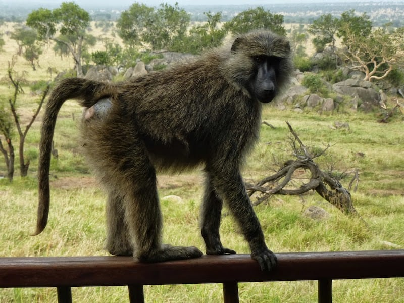 A curious baby baboon on our balcony at the Four Seasons Serengeti in Tanzania