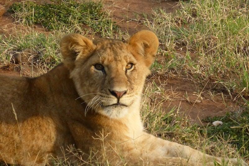 A lion cub in Kenya