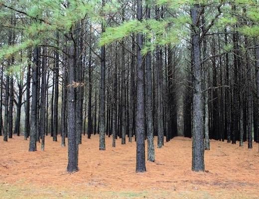Pine Plantation (Wikimedia Common: USDA Natural Resources Conservation Service)