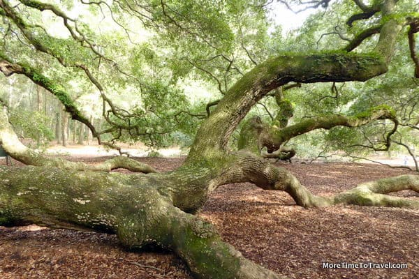 One of the heavy limbs of the Angel Oak