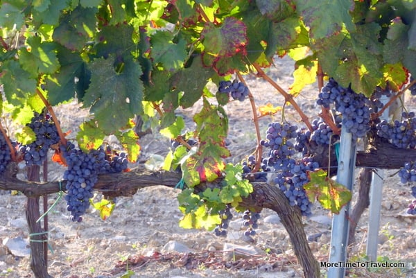 Grapes on the vines