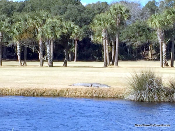 Alligator relaxing on the golf course at Seabrook Island