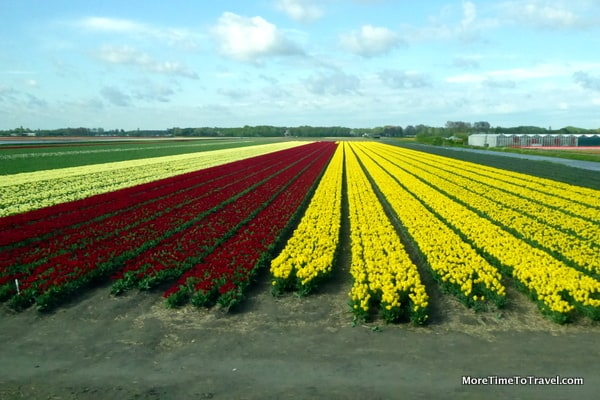 Fields of flowers in the surrounding countryside as your approach Keukenhof Gardens