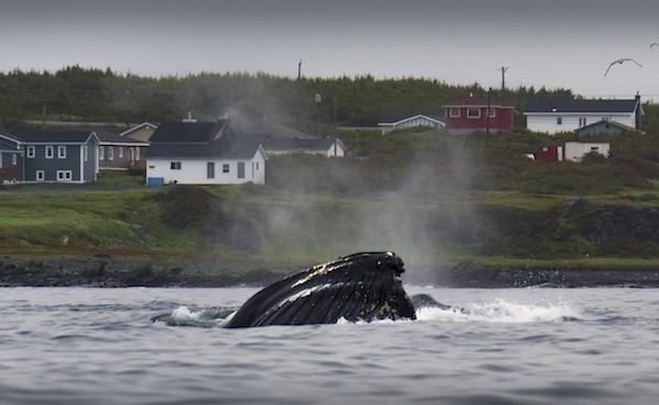Humpback whale off the coast of Newfoundland (Photo credit: Scott Forsyth, Adventure Canada)