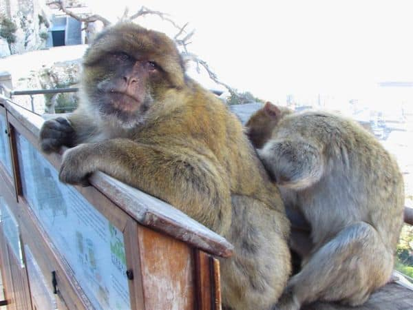 Barbary Apes ignoring people