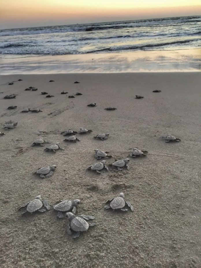 Hatched baby turtles head to the ocean