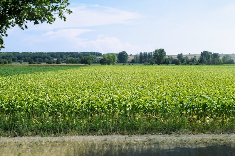 A tobacco field