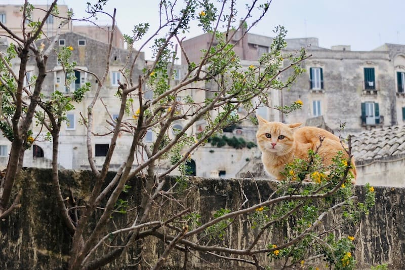 Tabby cat on an ancient wall in Matera