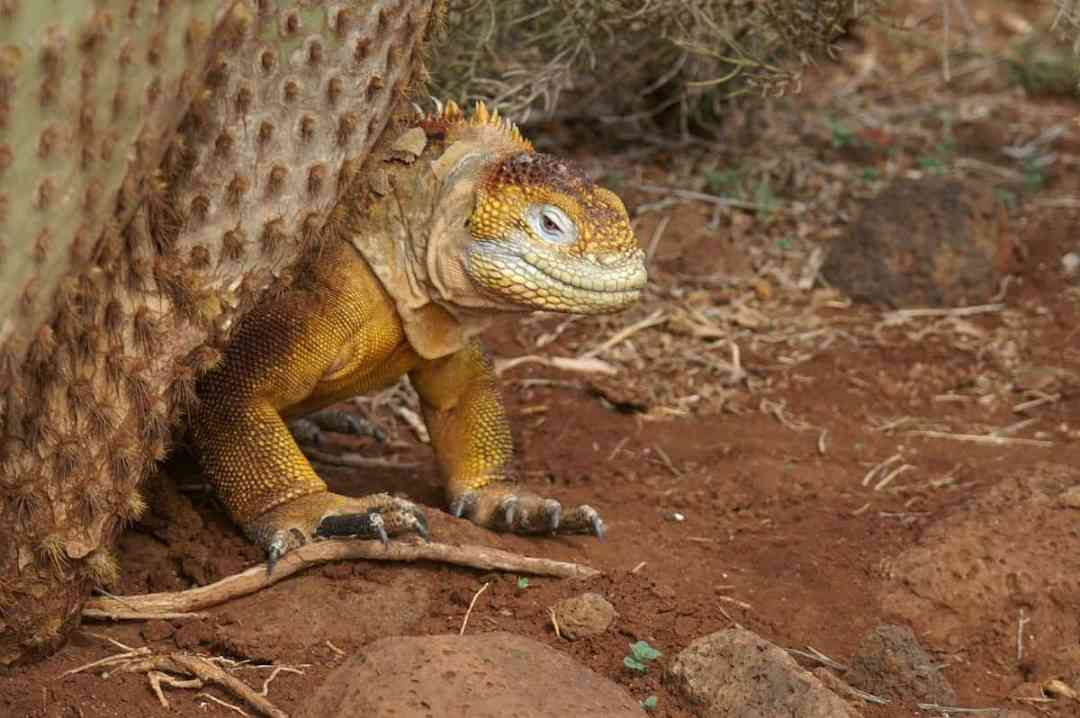 An iguana in the Galapagos Islands