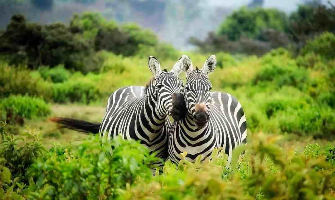 Destinations: Zebras in Africa