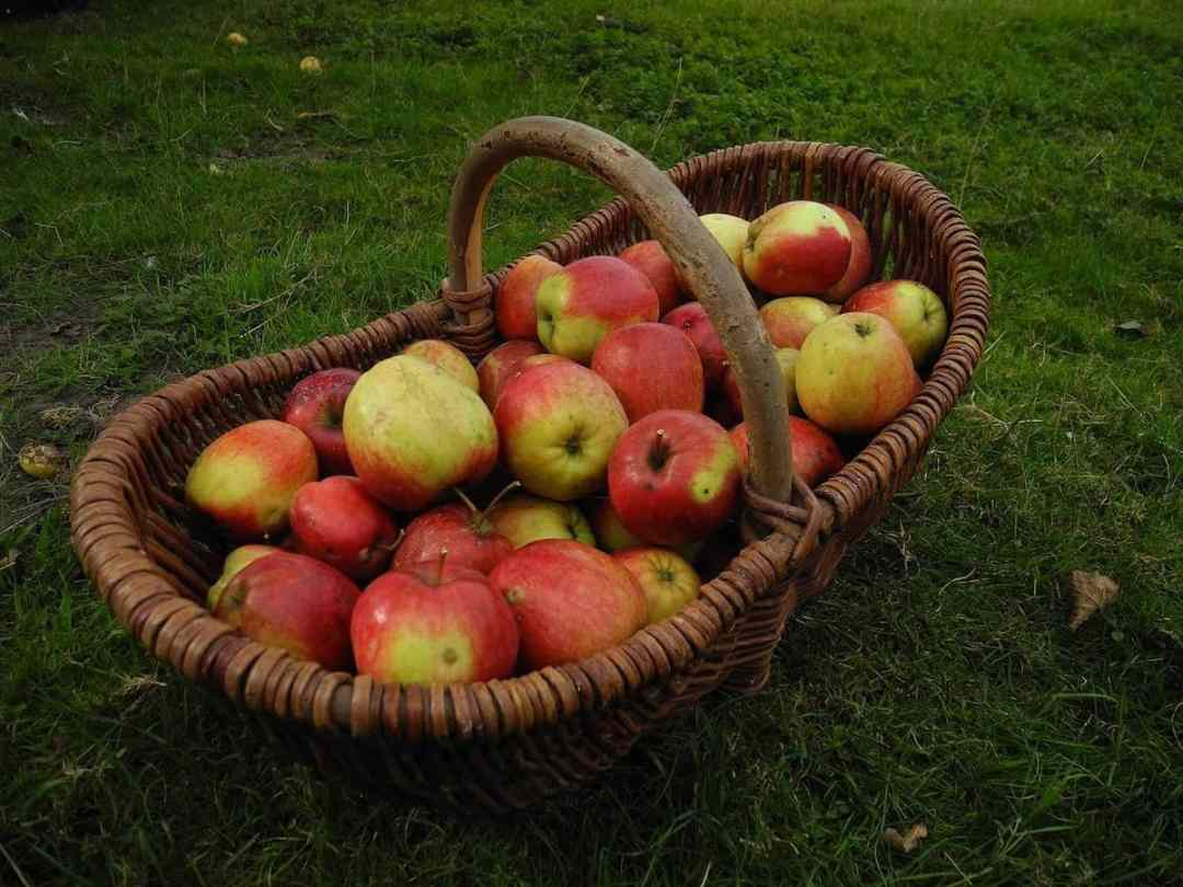 Apple picking during the pandemic (credit: Pixabay)