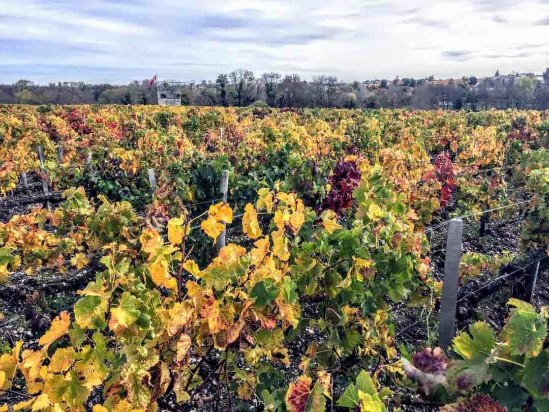 Vineyard in Bordeaux in late autumn. (credit: Jerome Levine)