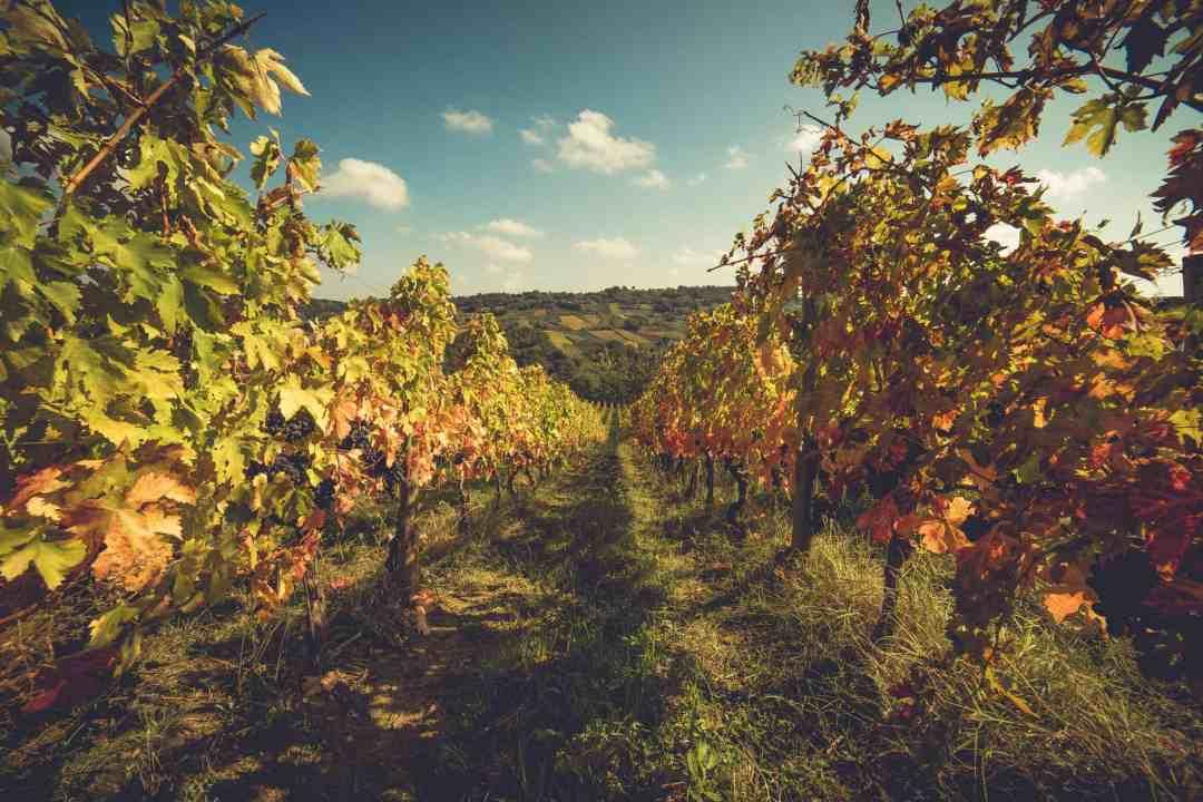 Masciarelli vineyard at harvest time