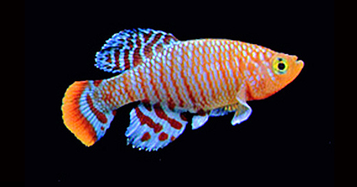 Researchers have developed a genome-editing toolkit to study aging in the naturally short-lived African turquoise killifish. Credit: Itamar Harel Read more at: http://phys.org/news/2015-02-aging-short-lived-african-killifish.html#jCp