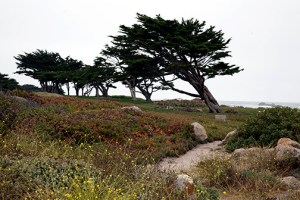 Windswept trees in Monterey, California