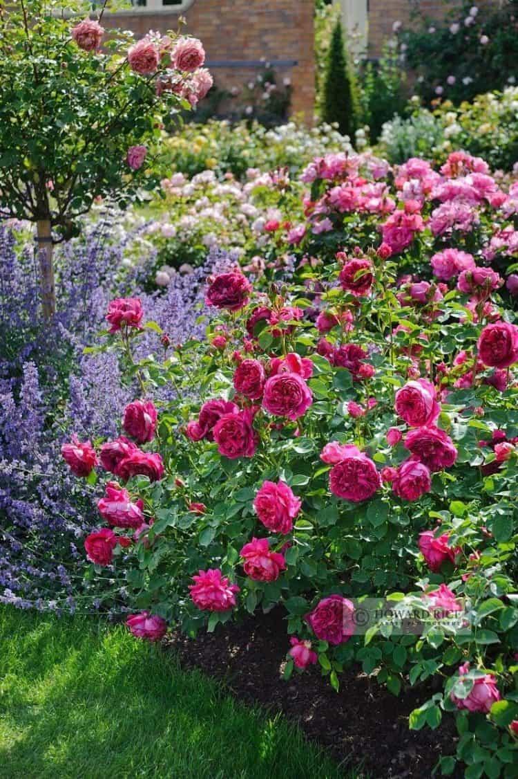 Romantic Rose and Lavender Garden