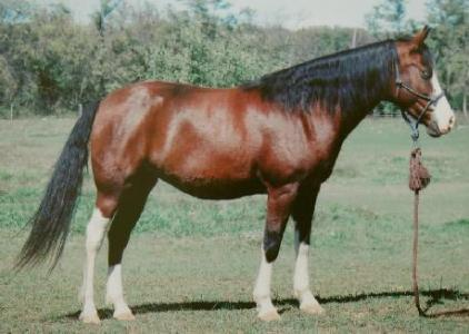 Morgan Colors  Your Information Station for Morgan Color Genetics     All three pictures above are of SHAHAYLEE  Marvelous Intrigue X Marvelous  Phophecy   a 1994 bay splash  homozygous  mare owned by Karen Burridge