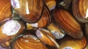 lifesavers-clams