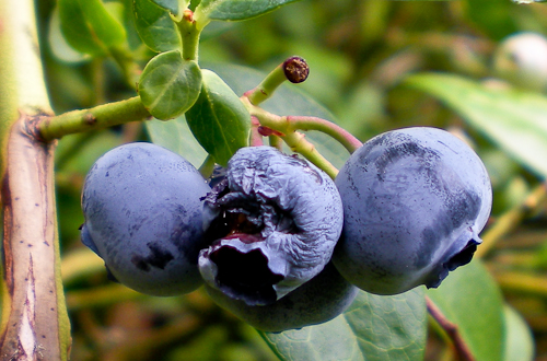 blueberrywars-1
