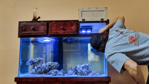 Resident Carpenter acclimates cleaning crew to the marine reef tank