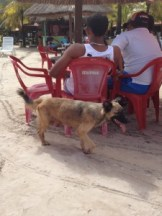 Stray dog at Paripueira begging for food.  Obviously has puppies.