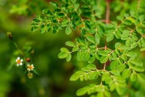 How Moringa Leaf Powder Becomes Natures Most Nutritious Superfood