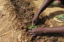 Élèves plantant les cultures
