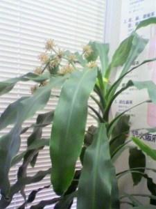 校友会鍼灸室_ドラセナ (2)