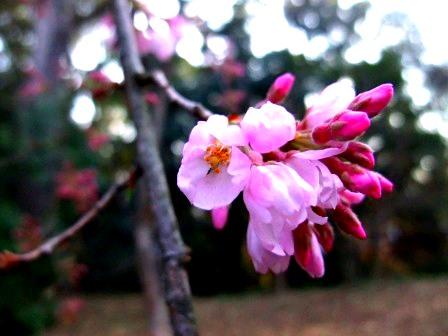 2015年3月26日 下鴨神社のサクラ