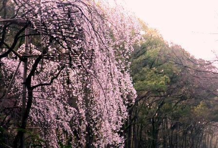 お花見セルフケア