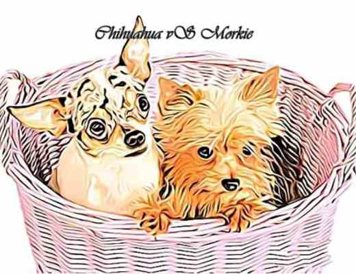 Morkie Vs Chihuahua, Morkie, Chihuahua
