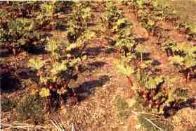 Rhubarb growing at Rooms Farm, Gelderd Road, Gildersome