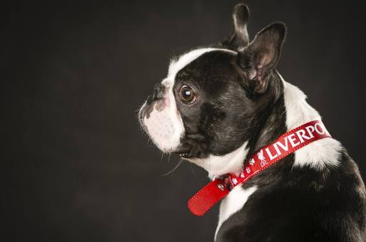 MorLove-Pet-Photographer-Studio-French-Bulldog