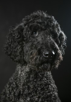 MorLove-Pet-Photographer-Studio-Labradoodle